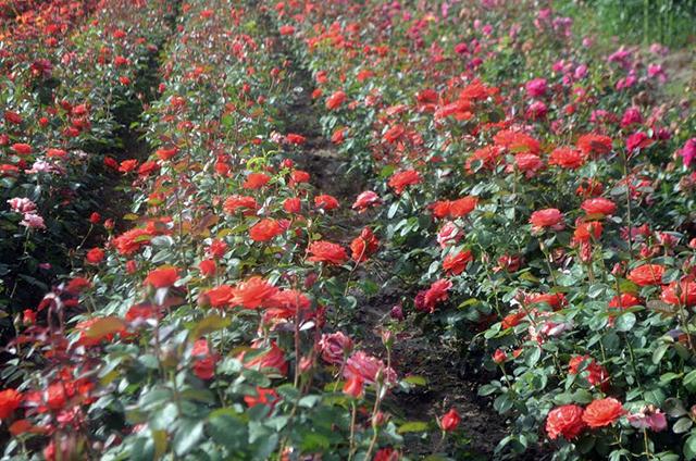 Pomi fructiferi vita de vie trandafiri arbusti for Arbusti ornamentali